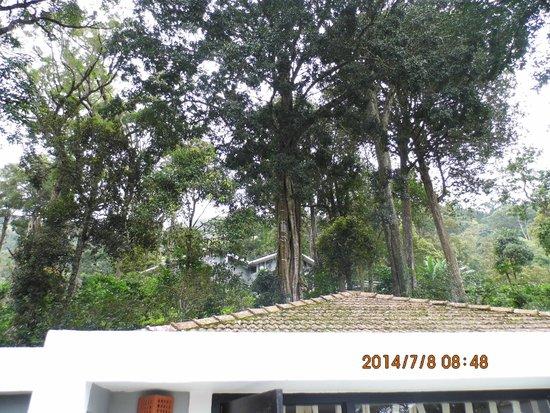 The Tall Trees Munnar: tall tree