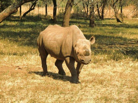 Mokopane, Sør-Afrika: Black Rhino