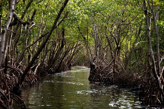 Everglades City Airboat Tours: Mangroves