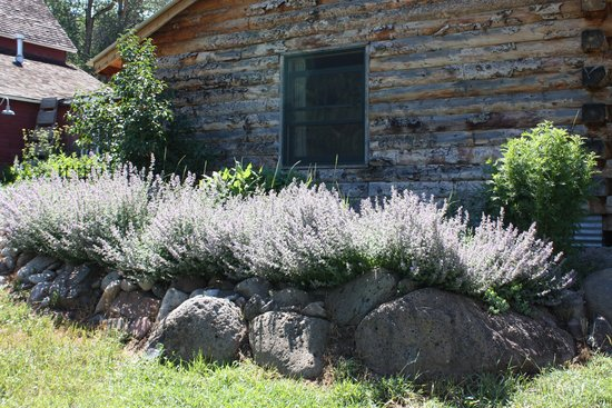 Four Mile Creek Bed and Breakfast: Gigantic catmint growing in abundance!