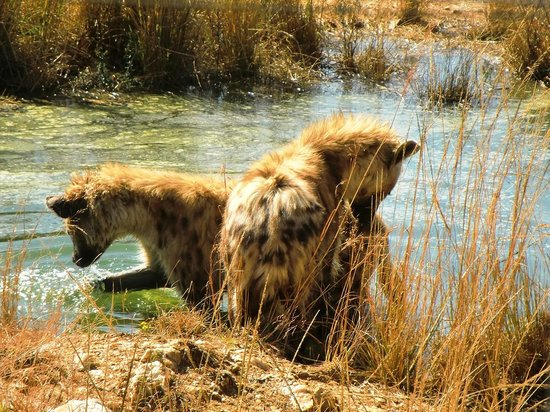 Walk With Lions: hyena