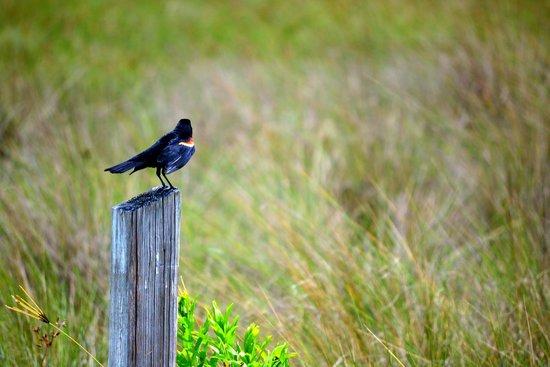 Honeymoon Island State Park : Red Winged Blackbird