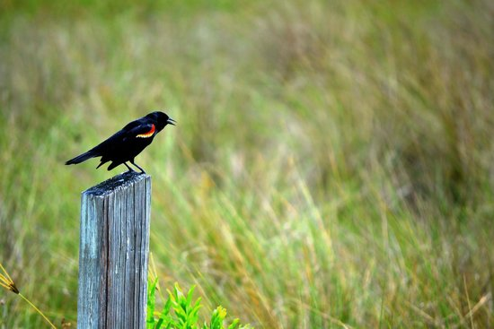Honeymoon Island State Park : Black Bird Singing