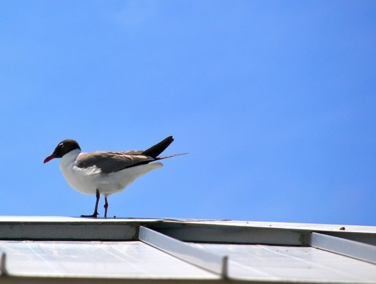 Honeymoon Island State Park : Gull on a Hot Tin Roof