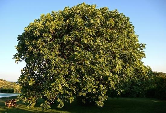 Agriturismo Prati degli Orti: Prati Degli Orti - What an impressive tree, June/July 2013