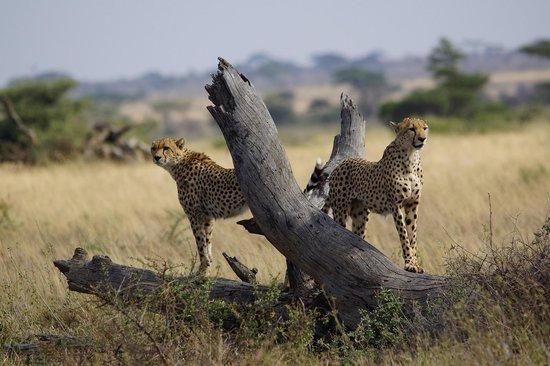 Namiri Plains, Asilia Africa: Cheetah Brothers