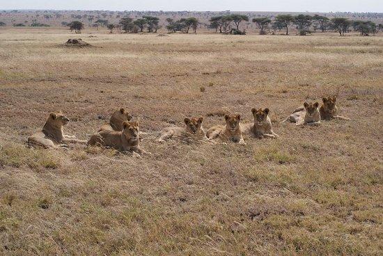 Namiri Plains, Asilia Africa: Lion Pride