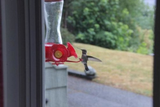 Graycliff Cottage Oceanfront B&B: Humming Bird feeding outside our window