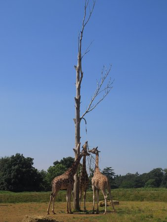 Cotswold Wildlife Park and Gardens: Giraffes in the sun