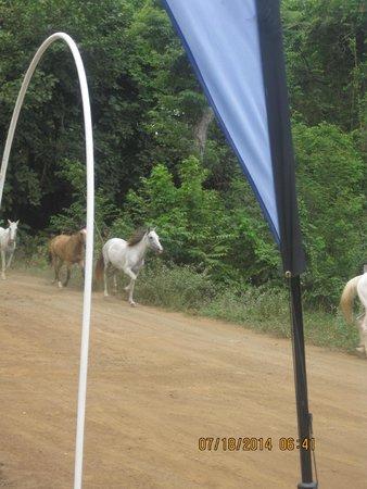 Hotel Riu Guanacaste: Herd of horses passing the Monkey Bar