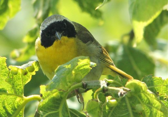 Wilmington, IL: Beautiful Common Yellowthroat, a common summer resident here with uncommon good looks!  Bring bi