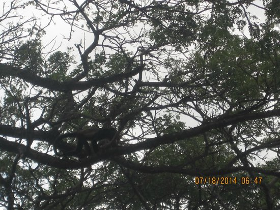 Hotel Riu Guanacaste: Monkeys in the trees at the Monkey Bar