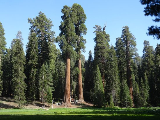 Lodgepole Campground: Giant trees at Sequoia NP
