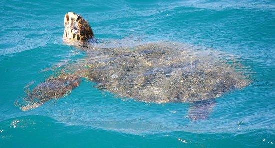 InterContinental Moorea Resort & Spa : Turtle swimming outside bungalow 522