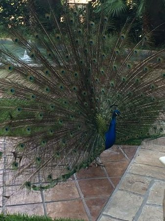 Marriott Plaza San Antonio: Rhett the pet peacock!