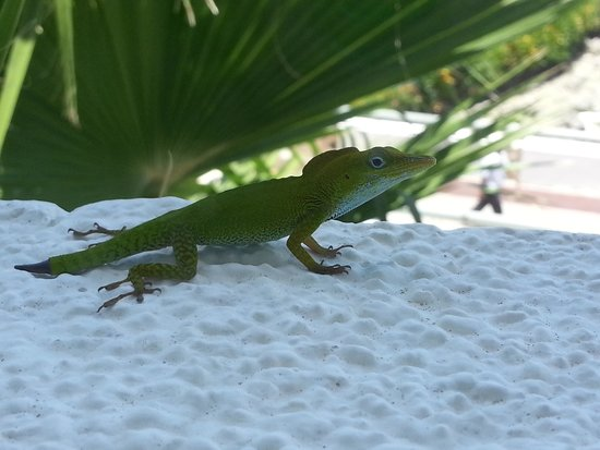 Hard Rock Hotel & Casino Punta Cana : Lizard - only saw once