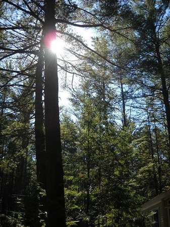 Whispering Pines Campsites: What we're famous for...towering pine trees
