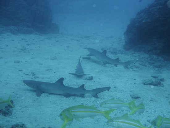 Osa Divers: Reef Sharks