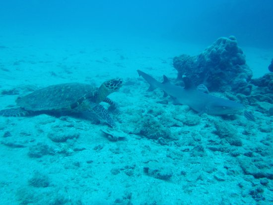 Osa Divers: Turtle and Reef Shark
