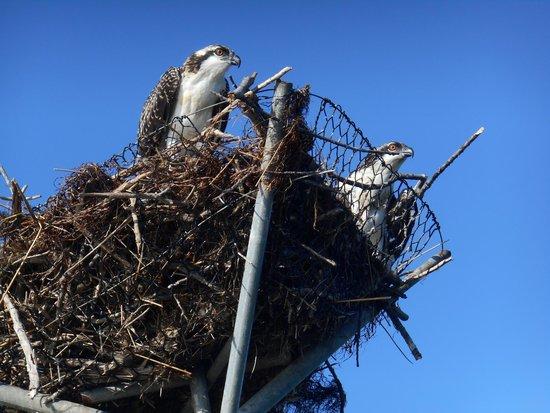 Smith Island Inn: Osprey nest along canoe trails to Tylerton