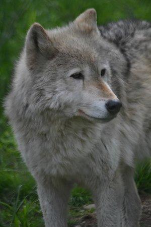 Wolf Haven International: wolf