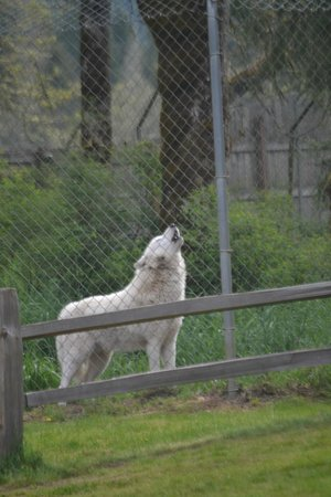 Wolf Haven International: Wolf howling
