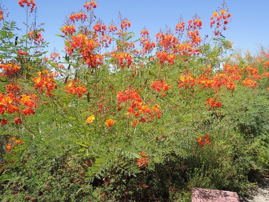Arizona-Sonora Desert Museum: flowering plants