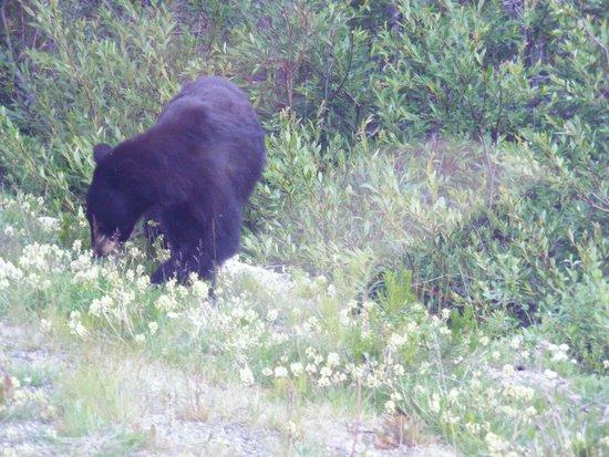 White Pass & Yukon Route Railway : one of several bears