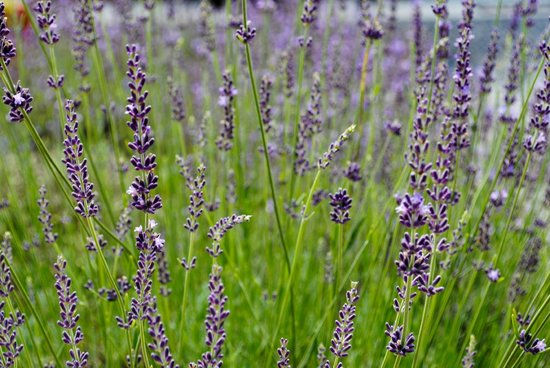 Beagle Ridge Herb Farm : LAVENDER! Buy some of the dried in little pouches; smells so good!