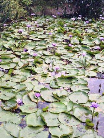 Adarapura Resort & Spa : Purple lotus pond at spa area