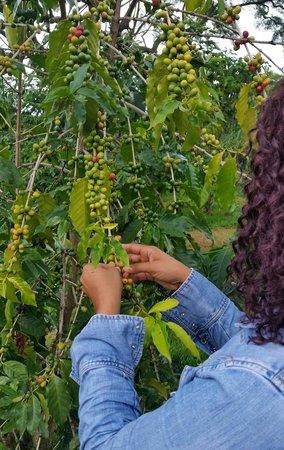 Hula Daddy Kona Coffee: Put to work picking coffee beans