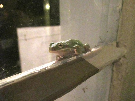 Open Gates B&B: Friendly green tree frog seen on front porch of inn, July 2014.