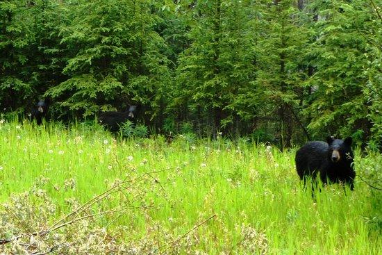Stewart-Cassiar Highway: bear and cubs on Stewart-Cassiar Hwy