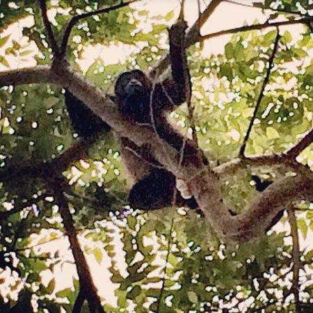 Hacienda Iguana: Howler Monkey