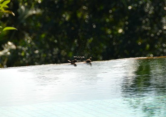Villa Semana: birds taking advantage of the large infinity pool