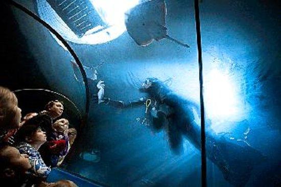 Lysekil, Swedia: Dy kare matar hajar i tunneln på Havets Hus. Foto: Andreas Olsson