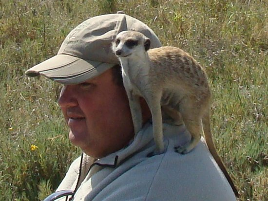 Dundee, South Africa: Pierre with a  wild meerkat