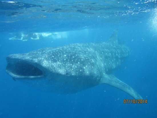 Edventure Tours : Whale Shark!!