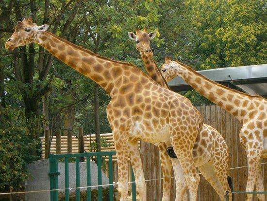 Touroparc Zoo : girafes