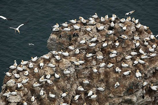 RSPB Bempton Cliffs: Gathering of Gannet