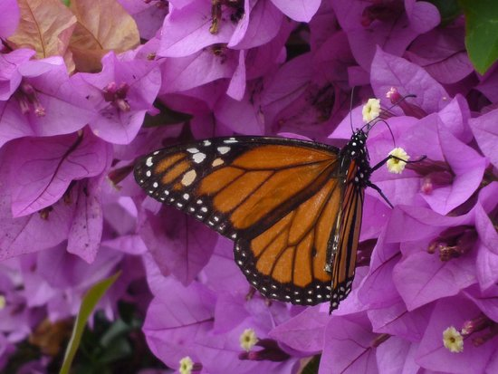 Madeira Botanical Garden : Monarch butterfly on bougainvillea