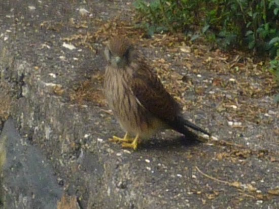 Madeira Botanical Garden : Kestrel looking for his lunch