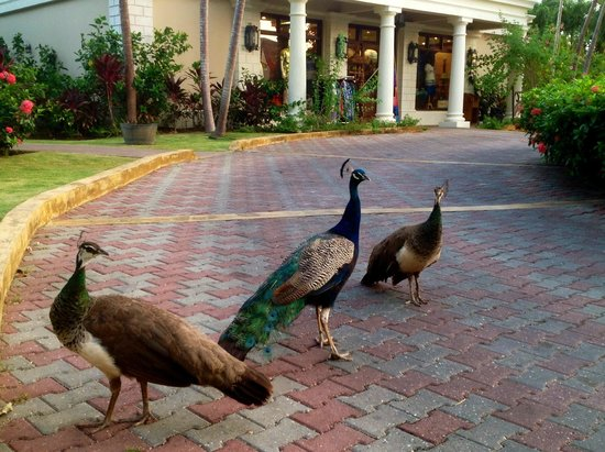 Sandals Royal Plantation: Beautiful peacocks that welcomed us on arrival