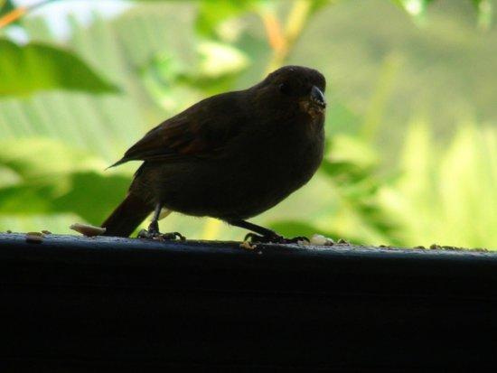 O Coeur de Deshaies : Le rouge-gorge local