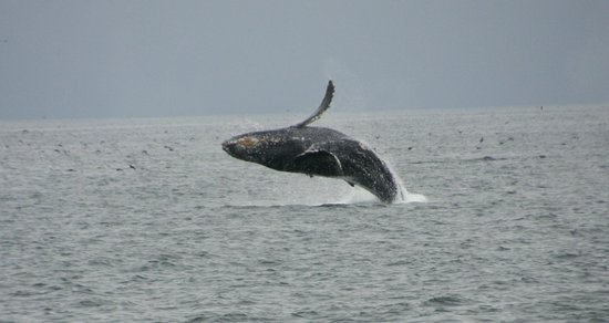 Monterey Bay Whale Watch : One of the many dozens of humpbacks we saw