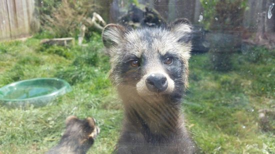 Axe Valley Wildlife Park: Raccoon Dog
