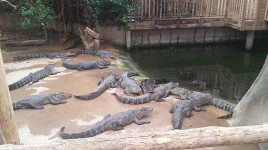 Alligator Bay : crocodile