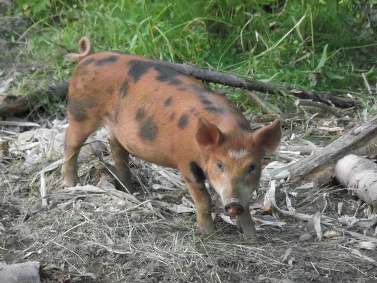 Trapp Family Lodge: New additions - pigs