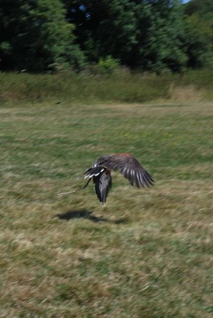 West Sussex Falconry: In flight