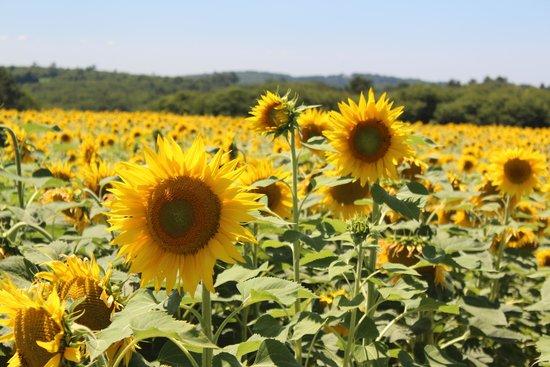 Ferme de Tayac : Sunflower fields